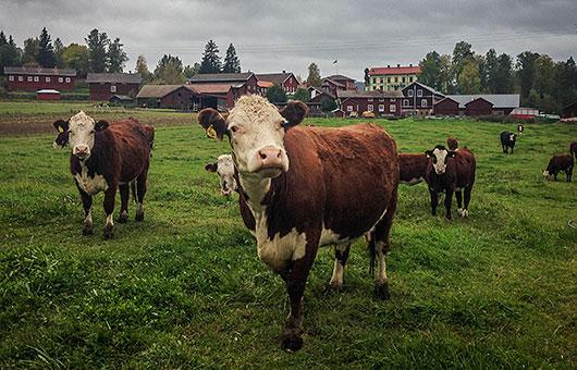 Korna i Björs betar fritt och har det bra. Foto: Pelle Nyberg